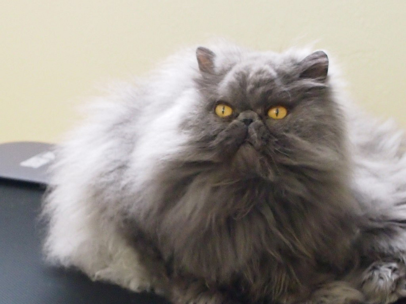 Image result for persian cat color gray